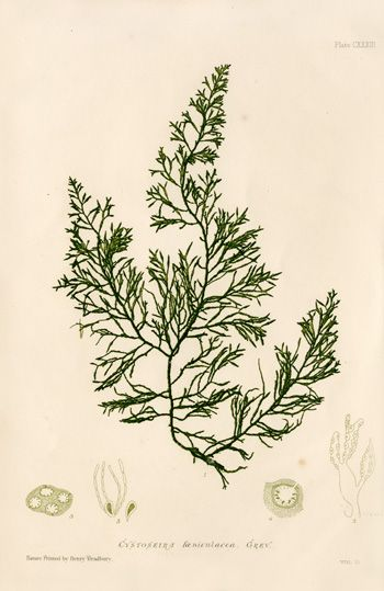 Antique prints of nature printed seaweeds by Henry Bradbury 1859