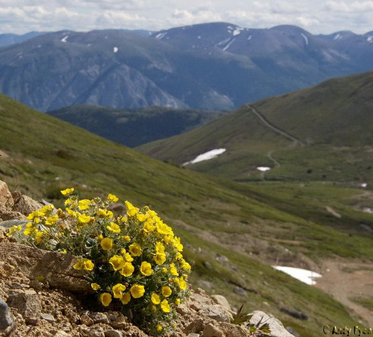 wildflowers in mountains near Carcross, /