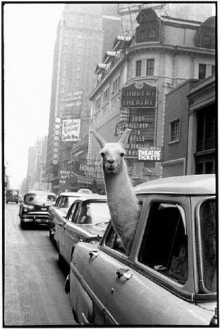 Inge Morath, A Llama in Time Square, New York, NYPhotos, Flames, Time Squares, New York Cities, Funny, Things, Photography, Animal, Ing Morath