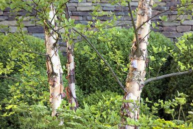 Betula Nigra: Growing River Birch perfect tree for along river bank in front of hazelnut trees