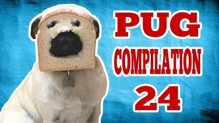 News Videos & more -  Pug Compilation 24 - Funny Dogs but only Pug Videos | Instapugs #Music #Videos #News Check more at https://rockstarseo.ca/pug-compilation-24-funny-dogs-but-only-pug-videos-instapugs/