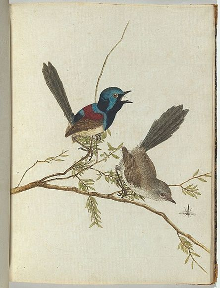 Variegated warbler. 20 December 1804 etching, printed in black ink, from one copper plate; hand-coloured