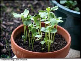 Ütött az igazság órája: már az is termeszthet zöldséget, akinek nincs kertje. Nézzük, hogyan csíráztassunk otthon magvakat!