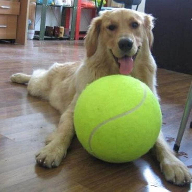 Does your dog love tennis balls? Let them love them even more with a JUMBO SIZED tennis ball. Kick it, throw it, do whatever your dog wants you to do with it. Find out more at The Pet Habitat Store!