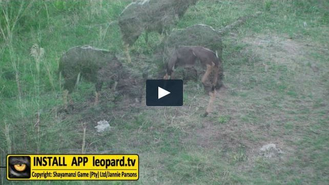 Watch the video of the Shayamanzi nyala fighting for dominance... #dominance #leopardtv #nature