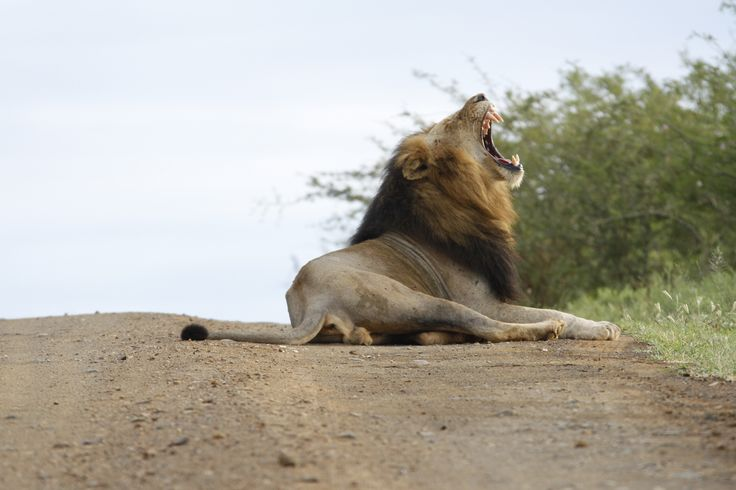 Imfolozi Lion, relaxing on the road after a long night