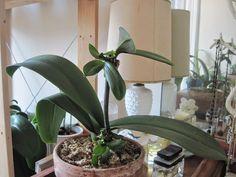 Mevsimlik Çiçek Bakımı: ORKİDE (Phalaenopsis) BAKIMI