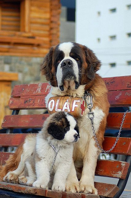 saint bernard en Bariloche-Argentina--everyone at one point in their life, needs to adopt a St. Bernard. <3 I miss mine every day.