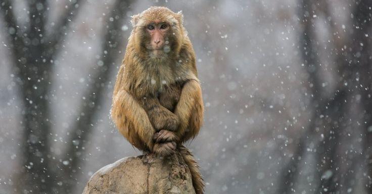 Macaco observa a neve cair no parque Xiangshan, na China
