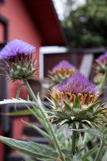 #Vegetables: artichoke plants