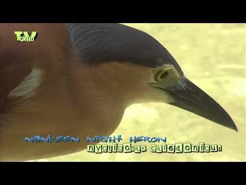 Nankeen Night Heron, Rufous Night Heron - Nycticorax caledonicus - Melabaob - Rotrückenreihe