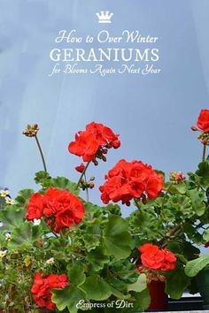1000 ideas about geranium care on pinterest geraniums geranium plant and overwintering - Overwintering geraniums tips ...