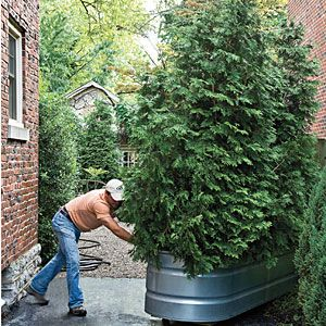 Backyard Beauty on a Budget | Green Gate | SouthernLiving.com; low cost moving gate, arborvitaes, shrub, bush, tree, plant, privacy fence, galvanized horse trough, rolling, casters, diy, home & garden