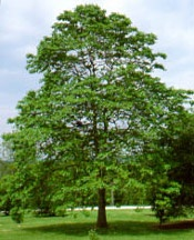 Sassafras Tree. Don't know where to buy one or how to get one started.