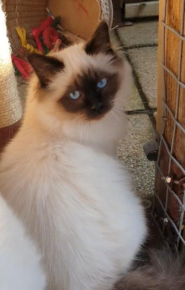 Birman Brother Sister 6 Months Cats Kittens Unusual Animals