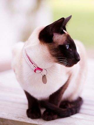 A Beautiful Siamese Cat - Makes me think of my Sammy, he lived 17 years...