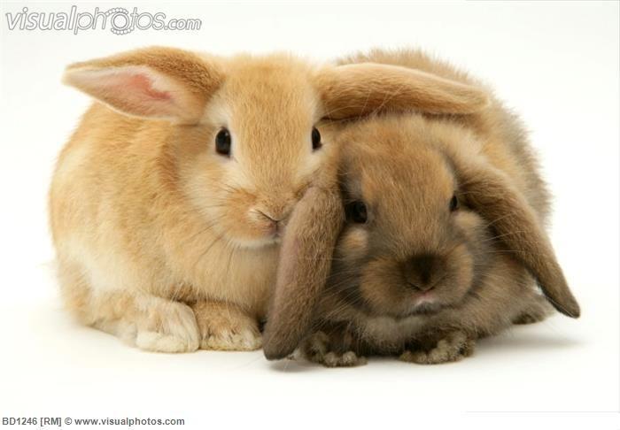 lop rabbit - Google Search | Lop Bunnies | Pinterest