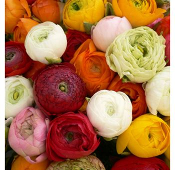 PEONY ALTERNATIVE Ranunculus  This simply gorgeous flower has a bloom period from June to August, but can commonly be available into early October.  Though small in size the flower comes in an array of colors and feature long winding stem that is sure to leave a big impact in any arrangement or centerpiece.