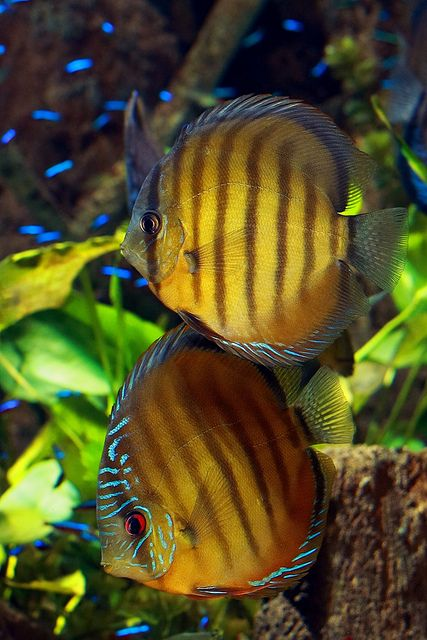 Discus pretty but aren't good tank mates and take a lot of attention