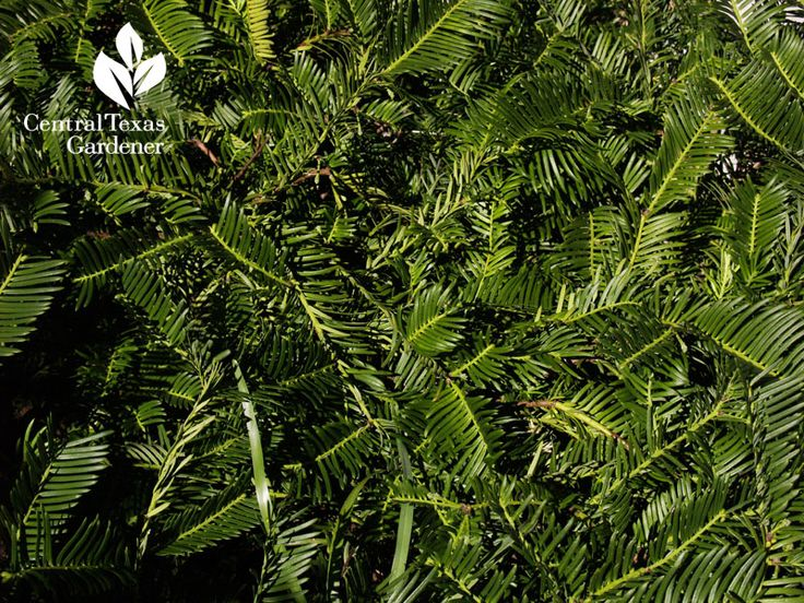 38 best images about cephalotaxus on pinterest for Duke gardens plum yew