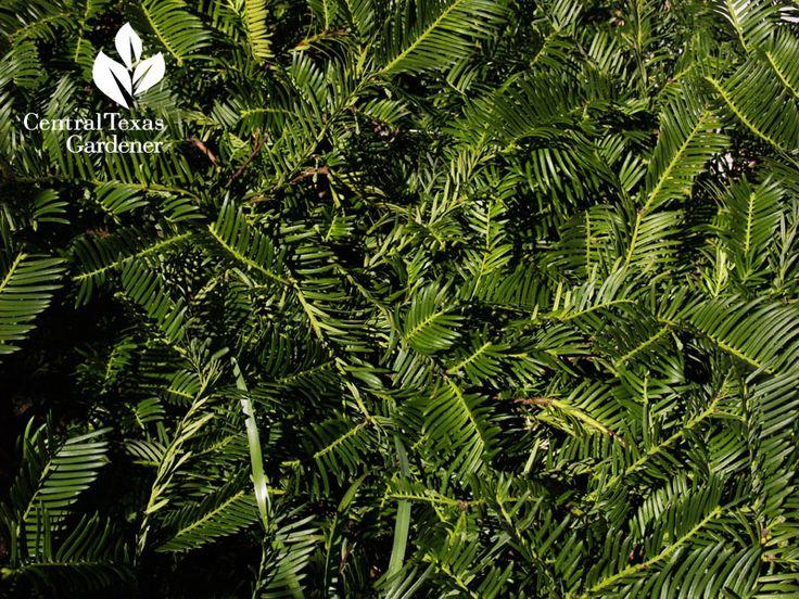38 best images about cephalotaxus on pinterest man photo shrubs and hedgehogs for Cephalotaxus harringtonia duke gardens
