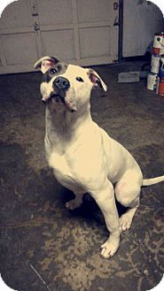 Lynnwood, WA - Dogo Argentino/American Pit Bull Terrier Mix. Meet Achilles, a dog for adoption. http://www.adoptapet.com/pet/17894477-lynnwood-washington-dogo-argentino-mix