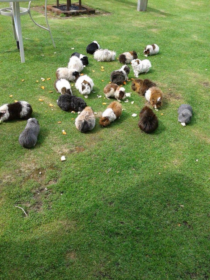 Guinea pig herd grazing peacefully.