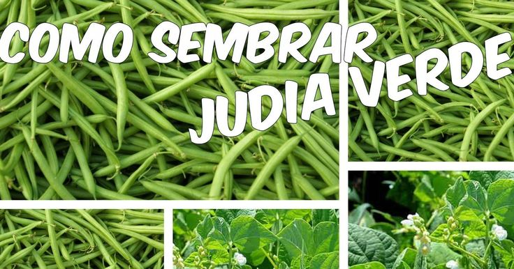 ¡Prepárate para cultivar judías verdes!