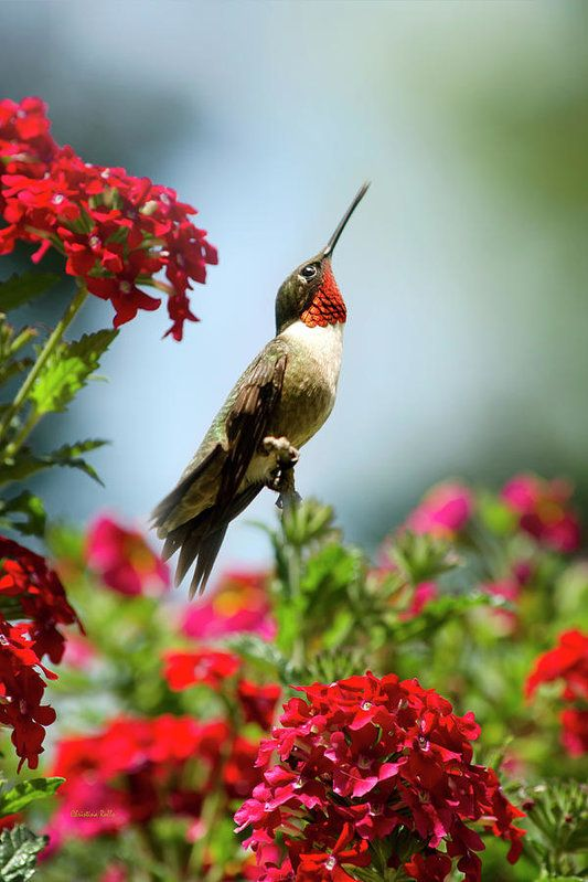 17 Best ideas about Hummingbird Garden on Pinterest Hummingbird