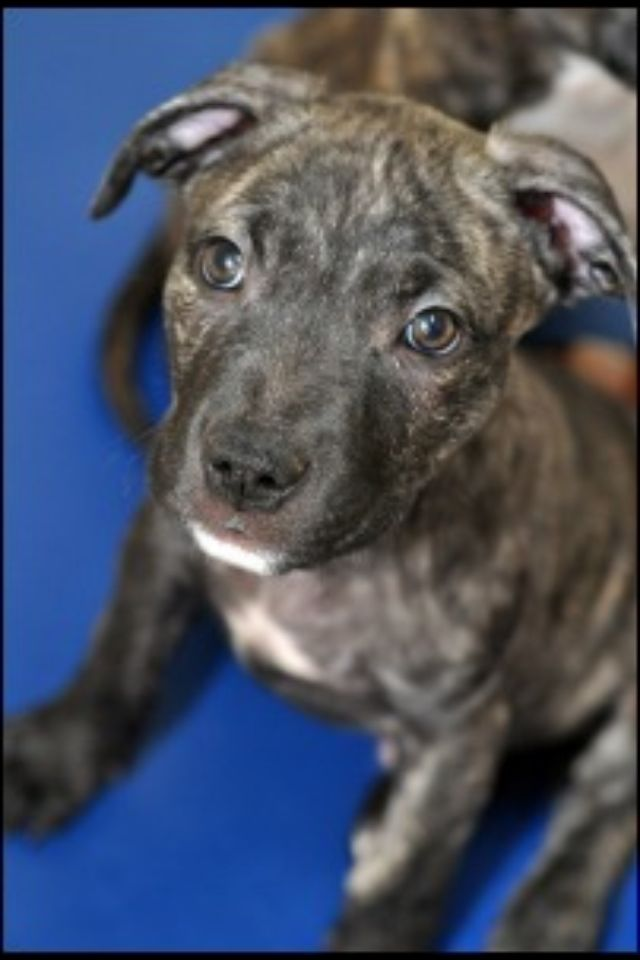 my Brindle #pit bull #bully Lucian at 2 months in his ...