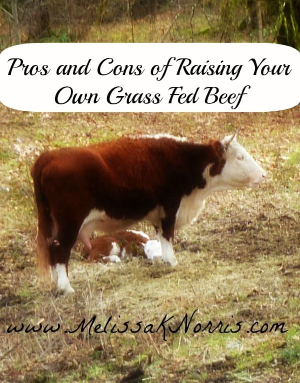 Pros and Cons to Raising Grass Fed Beef www.melissaknorris.com Why we grow our own and have never bought beef from the store. Tips for purchasing local grass fed beef if you can't grow your own.