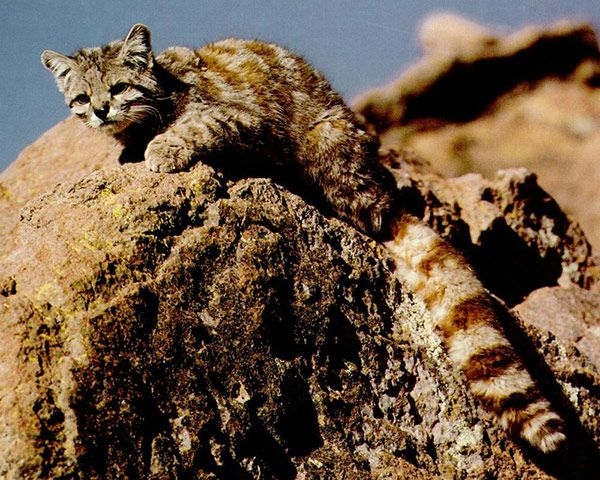The Andean mountain cat, Leopardus jacobita, has a silver-grey coat with dark spots and stripes that match its open, mountainous habitats in Chile, Peru, Bolivia and Argentina. It hunts on the ground and preys on large rodents, such as mountain chinchillas