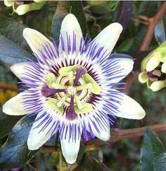 Passiflora, Flor de la pasión, pasionaria, cultivo y cura