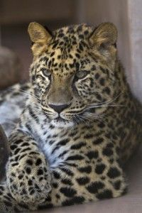 Amur Leopard at the San Diego Zoo
