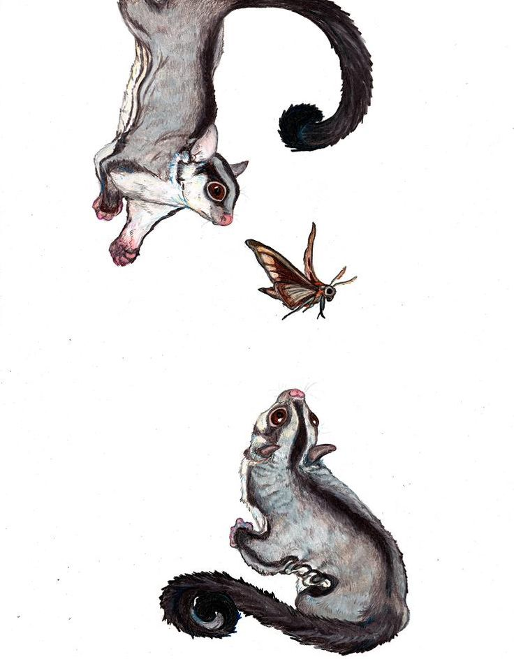 Illustration | Sugar Gliders