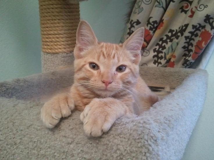 25+ best ideas about Polydactyl Cat on Pinterest | Black ...  25+ best ideas ...