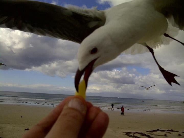 Seagull on Fish Hoek Beach. Photo by Malcolm Alexander   www.capepointroute.co.za