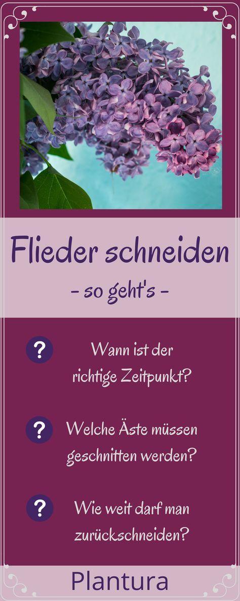 So wird Flieder richtig geschnitten! #Flieder #schneiden #Garten