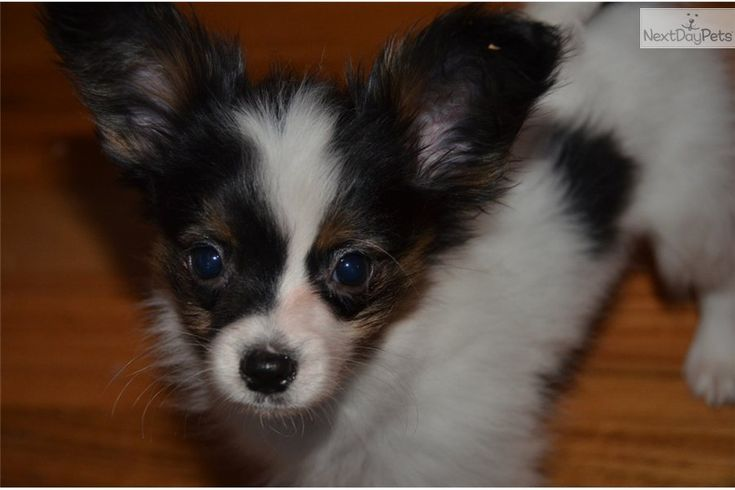 Papillon Puppy for Sale: AKC Dasher -Limited Registration -his name is dasher