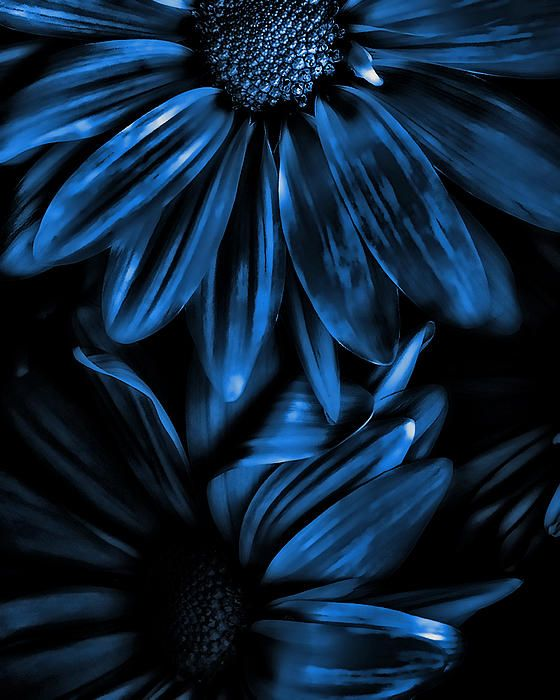 Midnight Blue Gerberas Photograph by Bonnie Bruno - Midnight Blue Gerberas Fine Art Prints and Posters for Sale