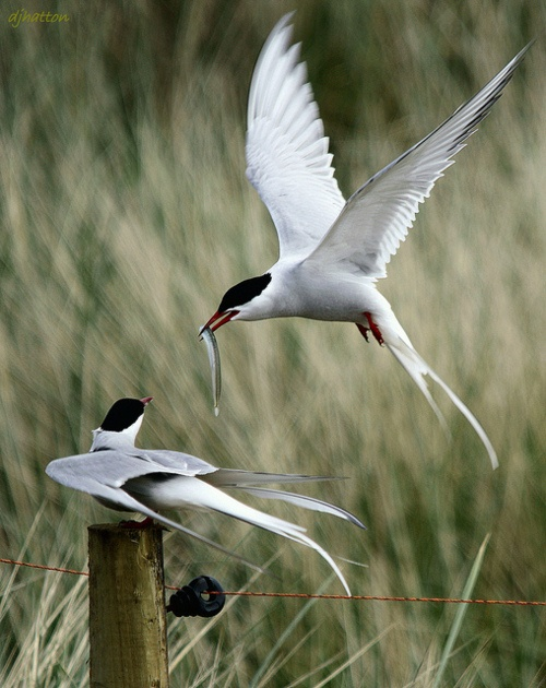 Arctic Terns are amazing birds. They migrate from the North Pole to the South Pole, spending about 3 months in each place, and it takes them about 3 months to fly from one pole to the other....