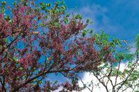 Chingalé o pavito, Jacaranda copaia, al inicio de la temporada de lluvias.