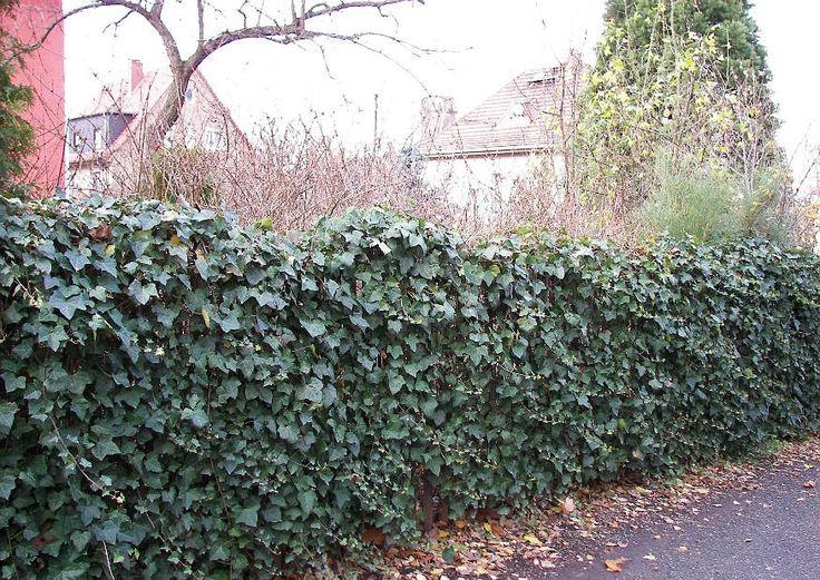 Inspirational Hecken B ume Pflanzen als L rmschutz L rmschutz GartenSchallschutz HopfenHausIdeenHouseIdeas
