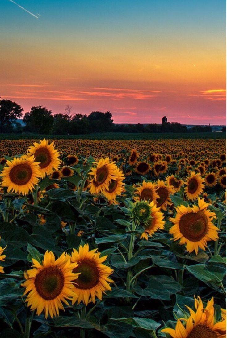 Image result for sunflower aesthetic Sunflower wallpaper