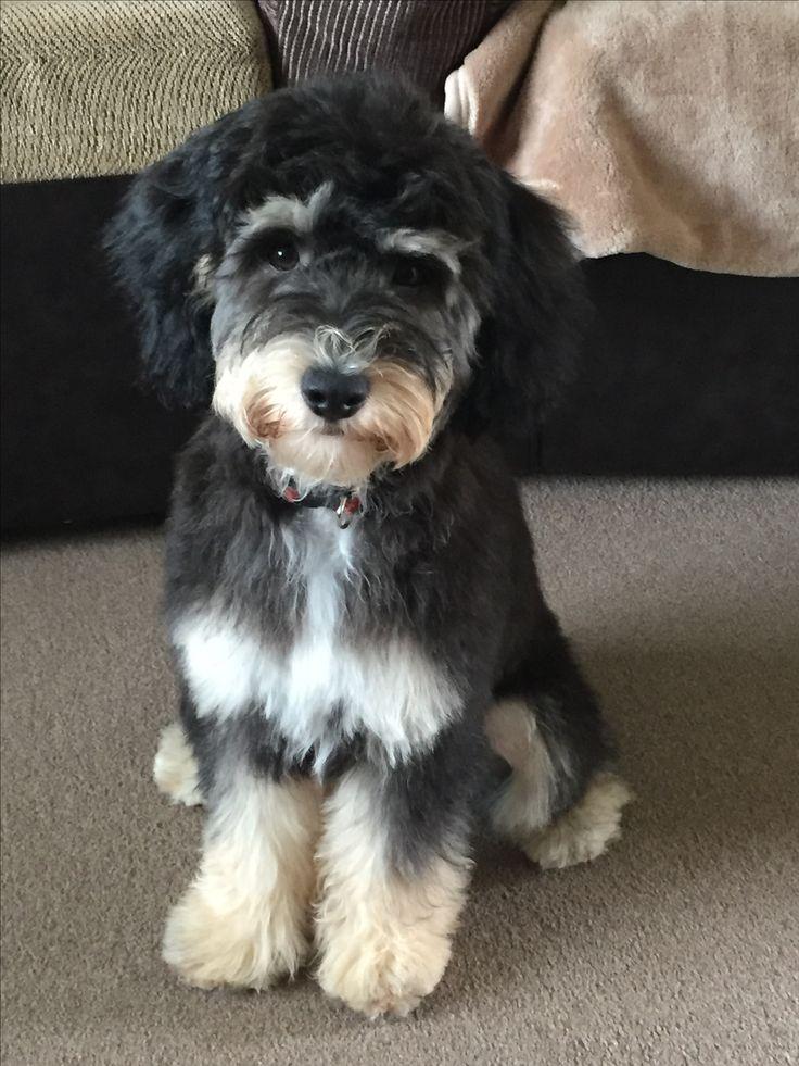 gorgeous phantom cockerpoo with teddy bear cut 5 months