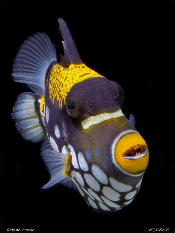 There are many kinds of Triggerfish. This is a Clown Triggerfish. They are very feisty and will bite your hand when trying to feed them. If you keep them in an aquarium they will bite tubes and stuff and cause real havoc! They have personality.