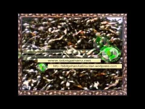 Bibit Gaharu (aquilaria malaccensis)anakan,biji kutai barat/sendawar 081...