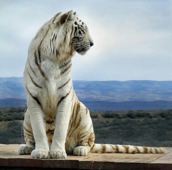 White Bengal tiger #tigers