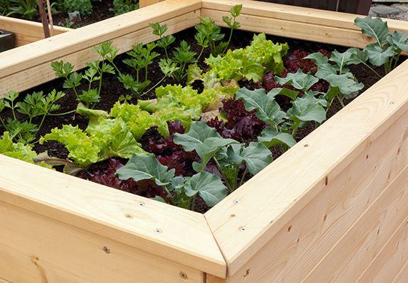 Wenn Sie ein Hochbeet anlegen, sollten Sie es in den ersten zwei Jahren nur mit solchen Starkzehrern bepflanzen und dabei auf eine ausgewogene Mischkultur achten: Die einzelnen Pflanzen ziehen unterschiedliche Nährstoffe aus der Erde, geben aber auch wieder etwas davon an das Substrat ab. In den Folgejahren können Sie auch Schwachzehrer wie Spinat und Salat anbauen. Früher eingesetzt, würden diese zu viel Nitrat anreichern