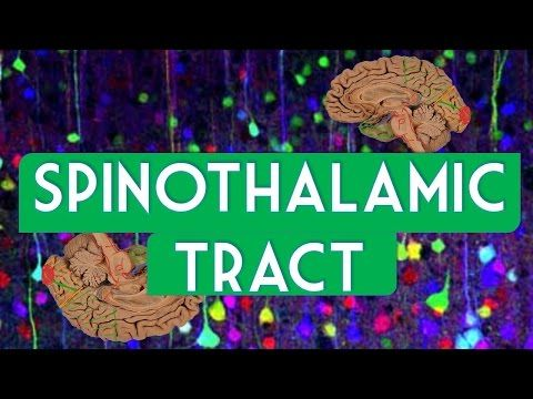 Spinothalamic tract - YouTube